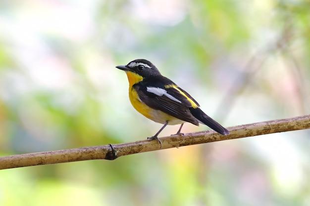 Flycatcher ficedula zanthopygia z żółtymi zadami piękne samce ptaków z tajlandii