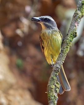 Flycatcher z muchą w dziobie i spoczywającej na gałęzi