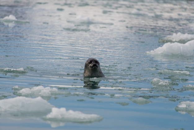 Foka na morzu arktycznym