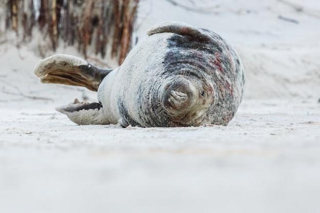 Foka na plaży na wydmowej wyspie w pobliżu helgolandu