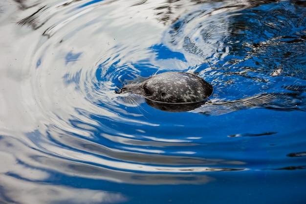 Foka pospolita patrząca prosto w kamerę, gdy jest w wodzie na plaży na plaży. uszczelki w wodzie.