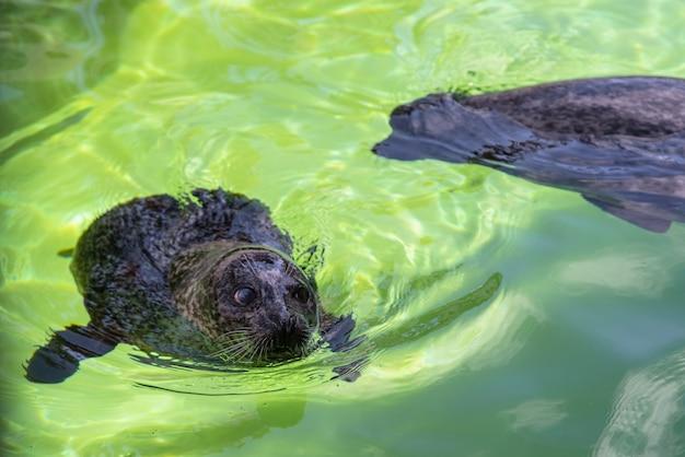 Foka szara atlantycka - halichoerus grypus pływający na powierzchni wody w terrarium.