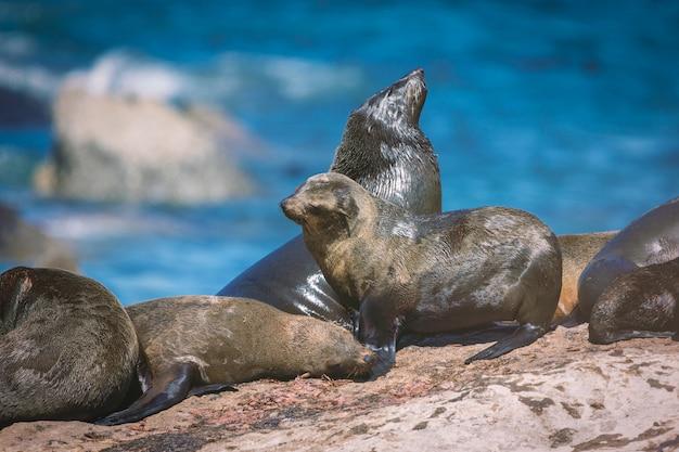 Foki na wyspie foki hout bay w cape town, republika południowej afryki