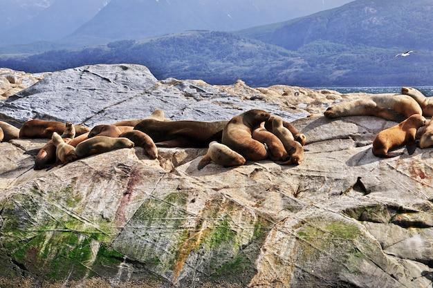 Foki na wyspie w beagle kanału zamykają ushuaia miasto, tierra del fuego, argentyna