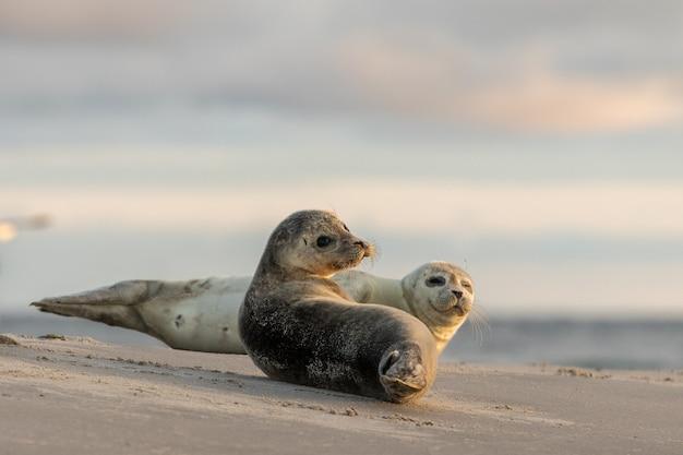 Foki pospolite, phoca vitulina, odpoczywające na plaży. wczesnym rankiem w grenen, dania