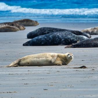 Foki szare śpiące na plaży