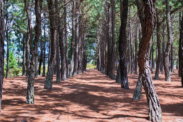 Fondo de pinos alineados