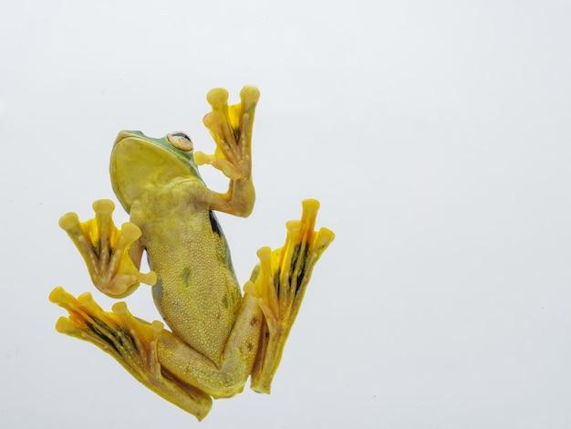 Fongsaly frog (rhacophorus kio)