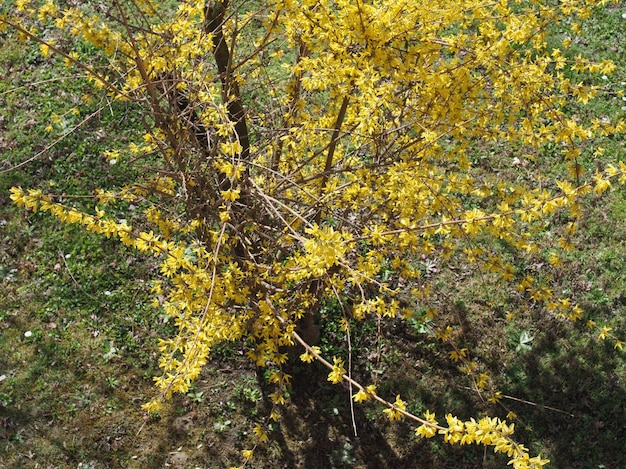 Forsycja (forsythia intermedia) drzewo ((forsythia (forsythia int