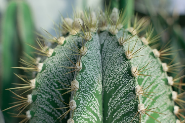 Fotografia makro kolczaste i puszyste kaktusy, kaktusy lub kaktusy na naturalnym rozmytym tle.