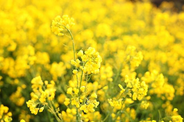 Fotografia makro kwiatów. jasne żółte kwiaty w rano z bliska. naturalna letnia ściana kwiatowa. piękne żółte kwiaty. promienie zachodzącego słońca na żółte kwiaty - kwiaty łąkowe