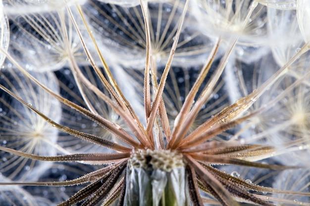 Fotografia makro nasion mniszka lekarskiego z kropli wody