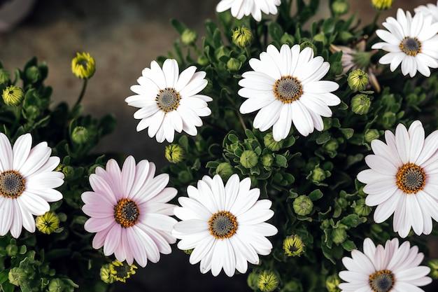 Fotografia makro pięknych białych kwiatów bellis perennis daisiy kwitnących wiosną