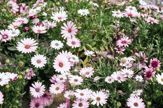 Fotografia makro pięknych różowych kwiatów bellis perennis daisiy kwitnących wiosną