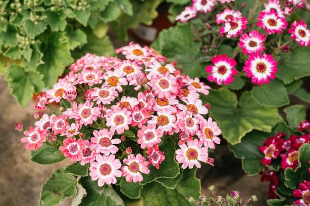 Fotografia makro pięknych różowych kwiatów daisiy kwitnących wiosną