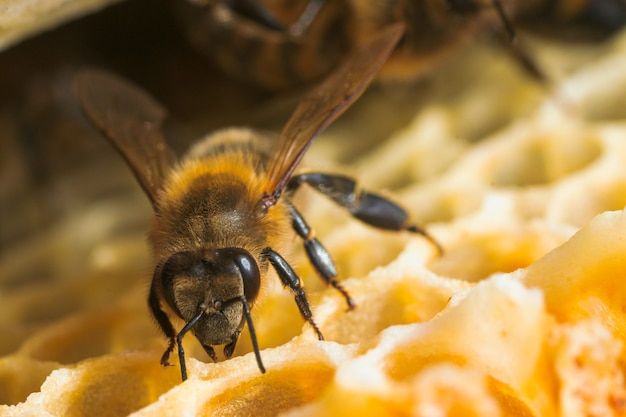 Fotografia makro pracujących pszczół na plastrach miodu. obraz pszczelarstwa i produkcji miodu.