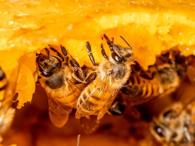 Fotografia makro pszczół jedzenia mango.