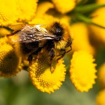 Fotografia makro trzmiela zbierającego pyłek z żółtych kwiatów tanacetum vulgare. trzmiel w żółtym pyłku kwiatowym.