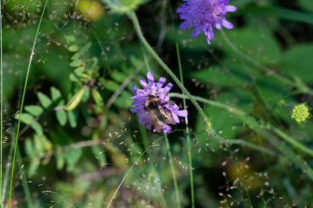 Fotografia makro trzmiela żerującego z kwiatu bzu knautia arvensis, czas letni