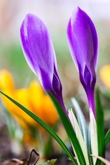 Fotografia makro zamkniętych pąków pięknych wiosennych kwiatów fioletowych krokus