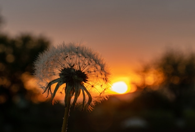 Fotografia podróżnicza, sylwetka kwitnącego puszystego kwiatu mniszka lekarskiego widok z przodu w tylnym świetle na tle zachodu słońca z bliska
