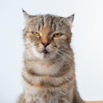 Fotografia portretowa szkockiego fałdu kota z irytującą lub gniewną twarzą.