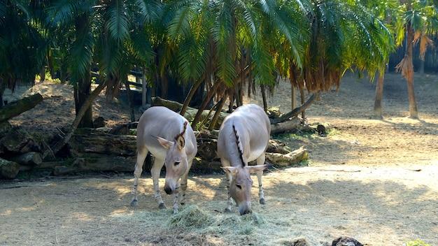 Fotografia somalijskiego dzikiego osła jedzącego na łące equus africanus z chordata