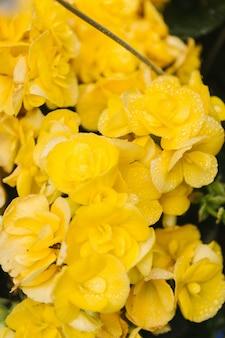 Fotografia z bliska żółtych kwiatów klastra