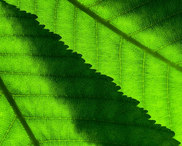 Fragment dwóch zielonych liści z żyłkami zachodzącymi na siebie, zbliżenie na prześwit