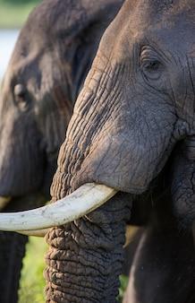 Fragment głowy i kieł słonia.