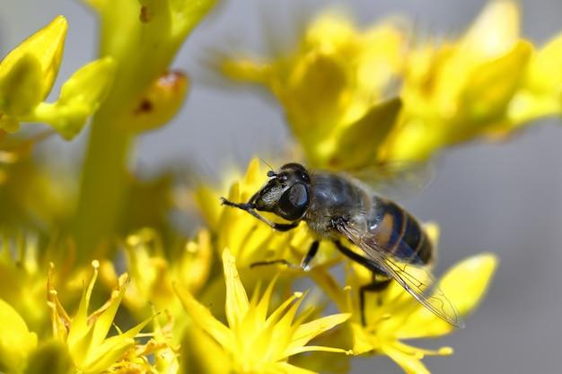 Fragment muchy kwiatowej lub pszczoły fałszywej (eristalis sp.) zapylający żółty kwiat.
