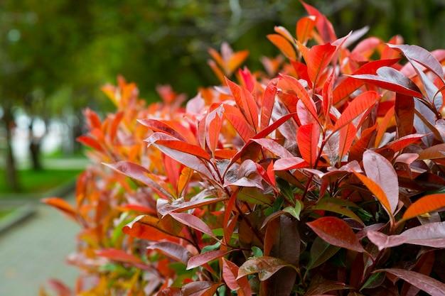 Fragment żywopłotu photinia red robin czerwono-zielone liście na gałęzi krzewu, naturalne kolorowe tło liści, lato