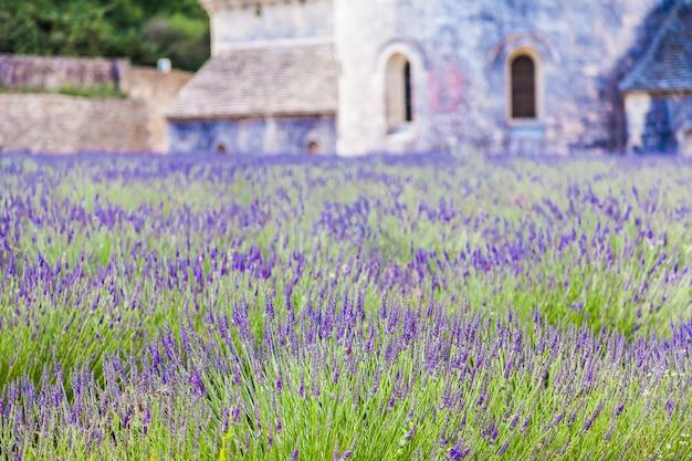 Francja, prowansja, opactwo senanque. lawendowe pole w sezonie letnim.