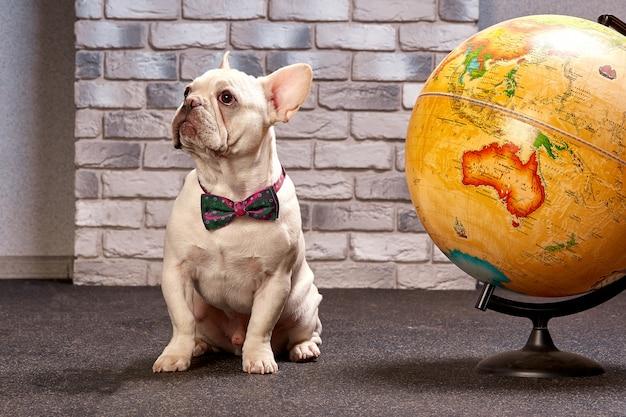 Francuski buldog z kulą ziemską, podróżuje z psem, gdzie iść z psim pojęciem