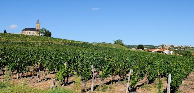 Francuskie winnice w beaujolais, niedaleko wioski oingt