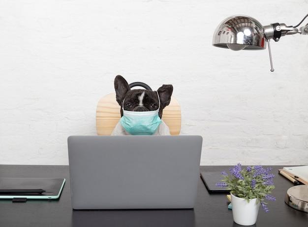 Francuskiego buldoga pies z ochronną medyczną maską pracuje od jego komputeru w domu