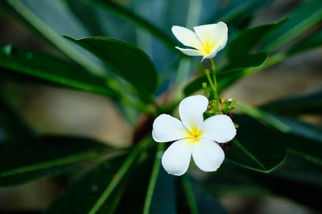Frangipani białe tropikalne drzewo kwiatowe. plumeria blossom