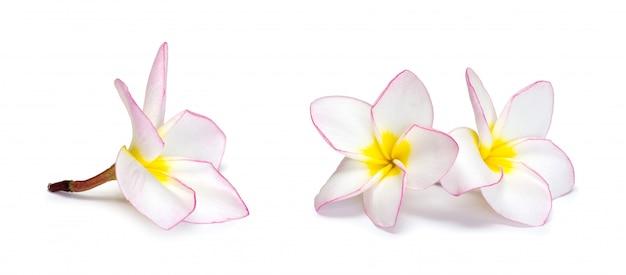 Frangipani kwiat na bielu