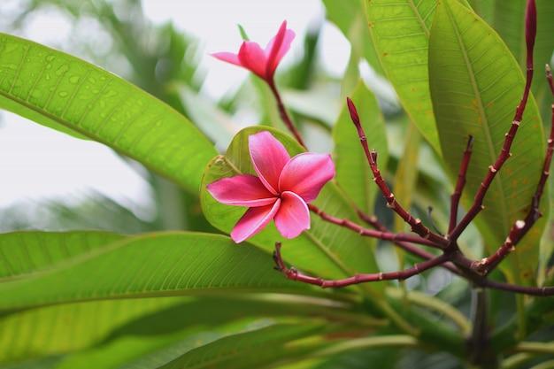 Frangipani plumeria tiare kwiat tahitian gardenia naturalny tajlandia zbliżenia copyspace