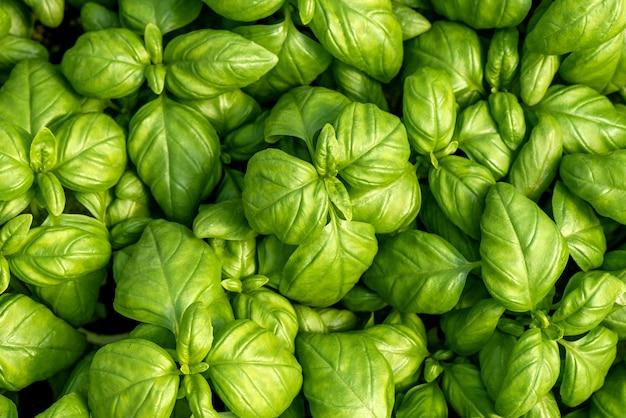 Frash bazylia liście jako ładne naturalne tło żywności