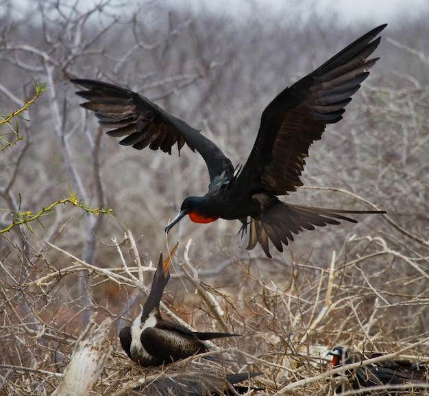 Fregata czerwonobrzucha leci do gniazda