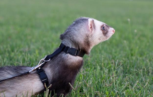 Fretka sobolowa, mustela putorius, spacerująca po zielonej trawie