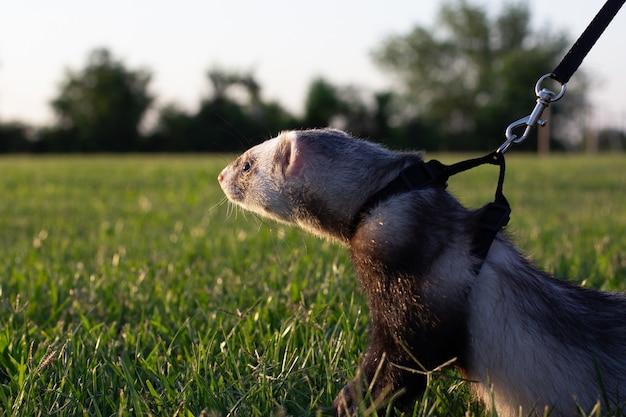 Fretka z obrożą dla zwierząt na smyczy w trawie