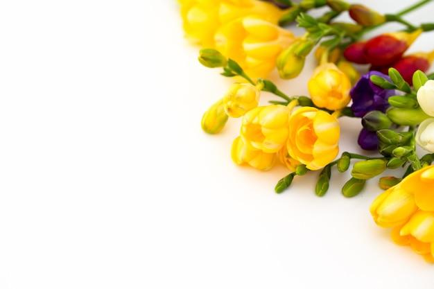 Frezja kwiaty na białym tle