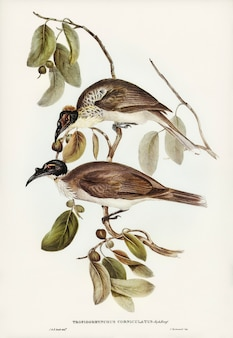 Friar bird (tropidorhynchus corniculatus) zilustrowany przez elizabeth gould