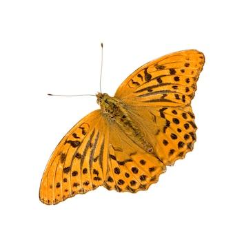 Fritillary motyl bielony motyl na bielu