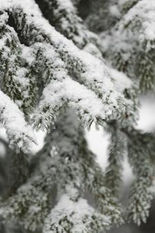 Frontowego widoku gałąź sosna z śniegiem