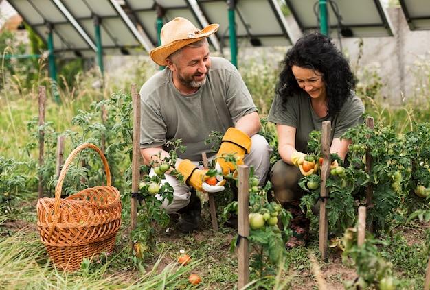 Frontowego widoku starsza para zbiera pomidory