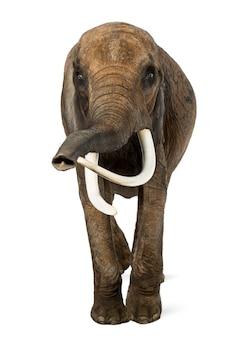Frontowy widok afrykański słoń, odizolowywający na bielu