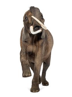 Frontowy widok afrykański słoń, podnosi swój bagażnika, odizolowywający na bielu